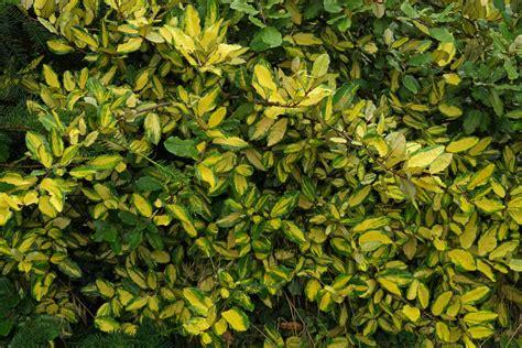 Indoor Vine Plant Elaeagnus Pungens Maculata