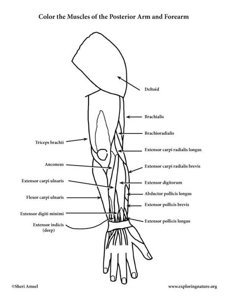 anatomy coloring pages muscles free muscles of the arm and forearm posterior coloring page