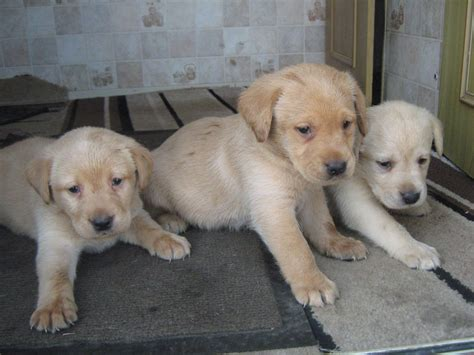 ebay puppies for sale lab puppies lab puppies on ebay classifieds newhairstylesformen2014