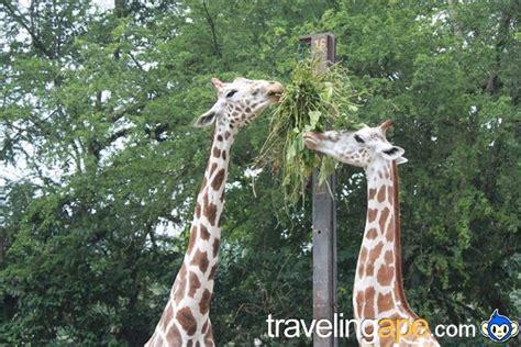 the giraffe that ate what do giraffes eat