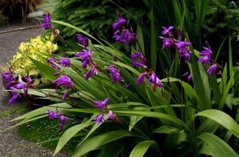Tanaman Bunga Anggrek Tanah All Tipe 1 bunga anggrek toko bunga