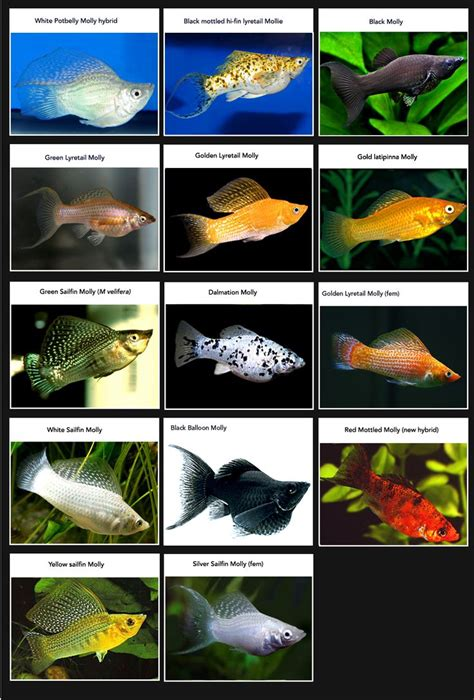 types of aquarium fish list of molly breeds my favorite aquarium fish by far fish pinterest i am charts and
