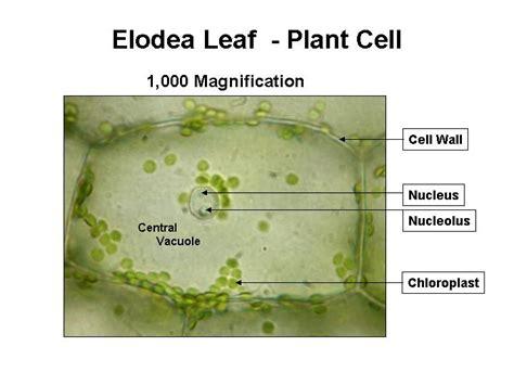 elodea cell diagram cells dvrhs science