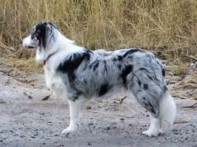 Colores del border collie border collie perros com