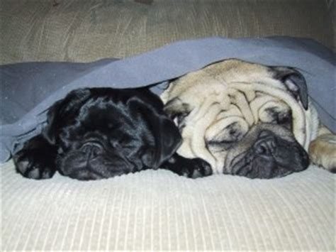 how much do pugs weigh pugpugpug how can i reduce shedding on my pug