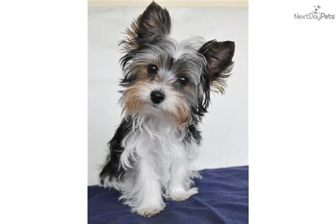 yorkie puppies for sale in pittsburgh terrier yorkie puppy for sale near pittsburgh pennsylvania 2466cb72 c591
