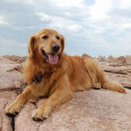available golden retrievers home golden retrievers in need rescue service inc