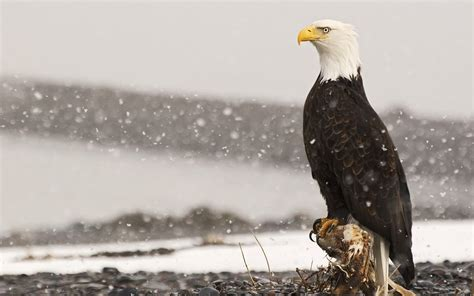 eagles wallpaper   amazing backgrounds
