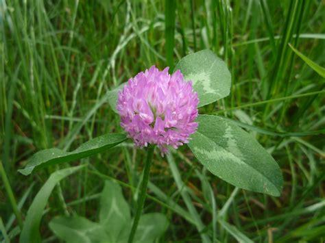 Purple Cover by File Purple Clover Flower Side Jpg Wikimedia Commons