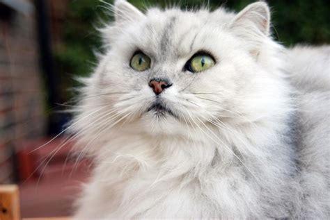 gatti persiani bianchi cinque sorprendenti razze di gatti a pelo lungo cinque