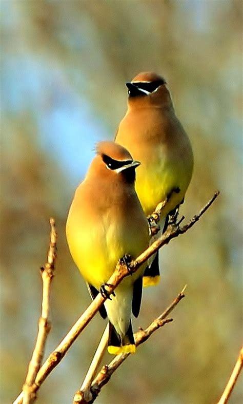 cedar waxwings museum of birds pinterest
