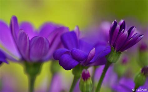 imagenes flores moradas flores moradas fondos de pantalla hd wallpapers hd