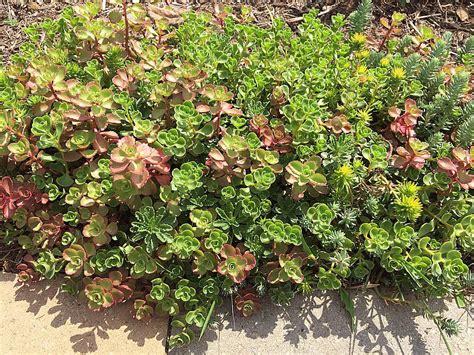 varieties  sedum stonecrop    ground cover