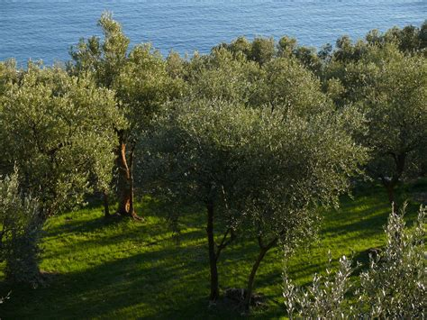 olive tree wallpaper olive trees on the background of the sea in liguria italy