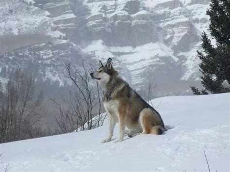 german shepherd wolf mix wolf german shepherd mix wolves