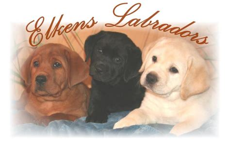 labrador puppies indiana labrador puppies in southern california
