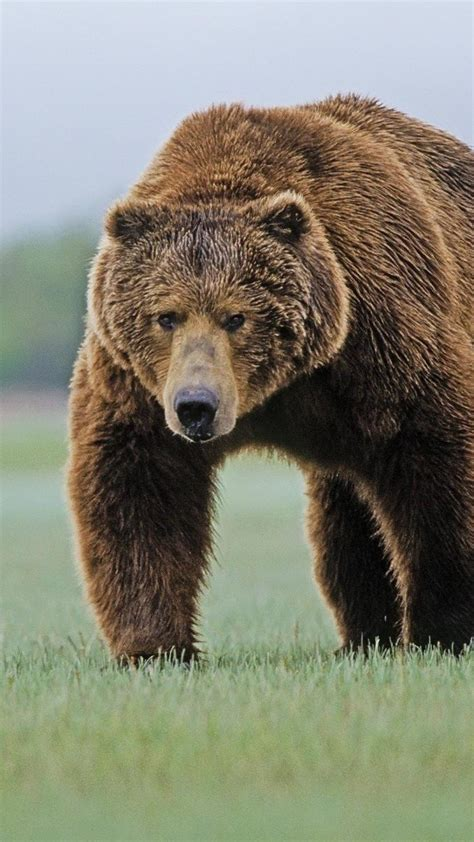 animals bears brown bear wallpaper