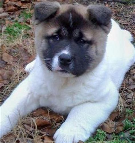 akita mix puppies akita mix puppies akita inu puppy pictures