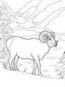 bighorn sheep coloring pages rocky mountain bighorn sheep coloring page