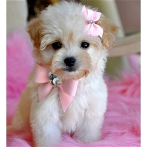 white teacup yorkies for sale yorkie and teacup yorkie puppies for sale polyvore