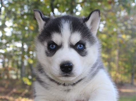 pupcity puppies for sale siberian husky puppies auto design tech