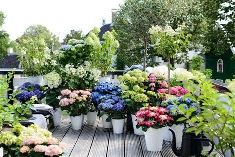 fiori mese di luglio luglio il mese dell ortensia ingrosso fiori gambin