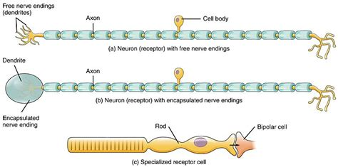 motor neuron definition difference between sensory and motor neurons definition