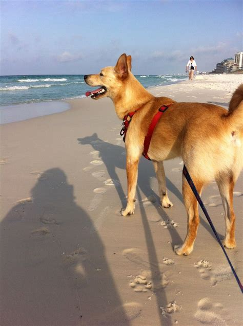american dingo 1000 images about american dingos on supplies breeds and