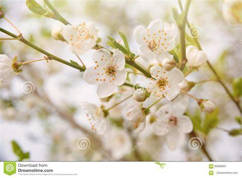 albero con fiori bianchi carta da parati di fioritura dell albero della primavera