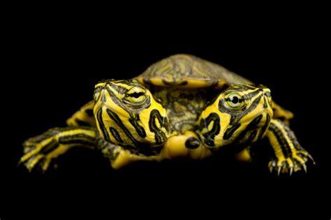 serpente a 2 teste la tartaruga e il serpente a due teste guarda le