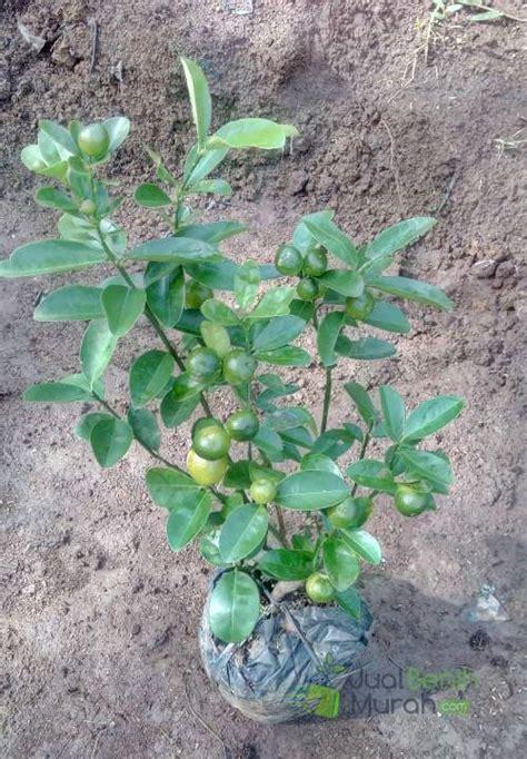 Pupuk Bunga Jeruk tanaman jeruk kintan berbuah jualbenihmurah