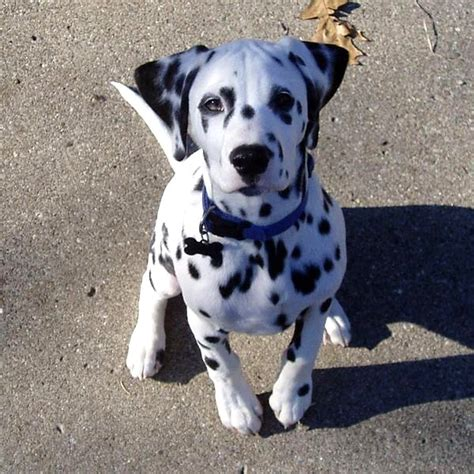 how much are dalmatian puppies usa puppy pictures dalmatian puppy pictures