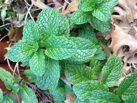 find mint leaves gardening channel