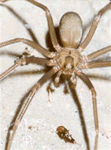 Spider Bite Detox by Brown Recluse Spider
