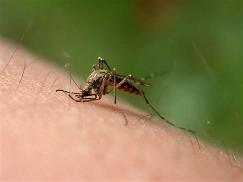 natural mosquito repellents natural mosquito repellents don t last group finds