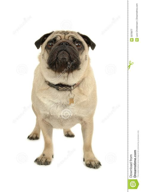 pug white background pug on white background royalty free stock photography image 3078877