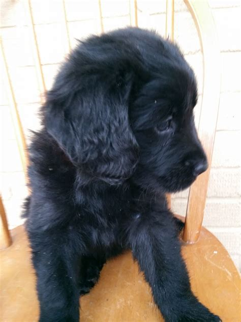 newfoundland golden retriever newfoundland x golden retriever puppies puppies for sale dogs for breeds picture