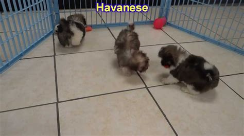 kansas havanese havanese puppies for sale in wichita kansas ks pittsburg hays liberal