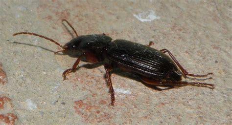 coleotteri in casa coleottero carabidae scybalicus oblongiusculus forum