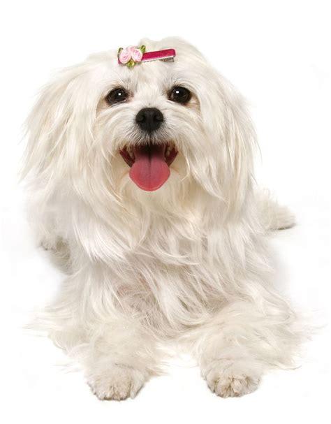 buy maltese puppy meer dan 1000 idee 235 n westie puppies for sale op witte terrier