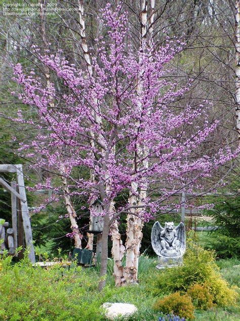 cercis forest pansy tree doerr designs