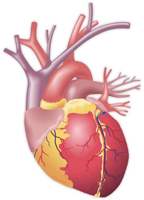 imagenes de corazones organo inf salud tu blog de salud im 225 genes del coraz 243 n humano