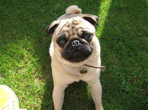 fawn pug pug 22 months fawn with black mask warwick warwickshire pets4homes