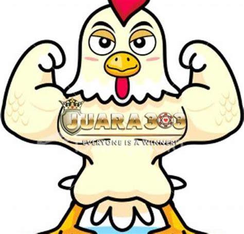 Obat Kutil Murah Meriah perawatan ayam aduan tidak semua harus mahal