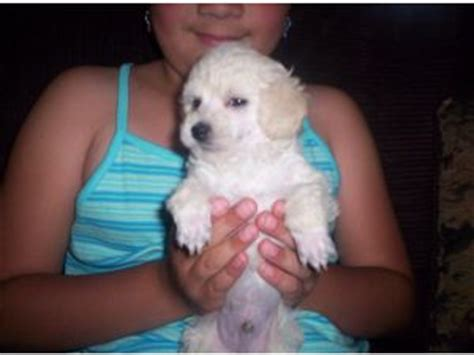 puppies for sale lewiston idaho poodle puppies in idaho