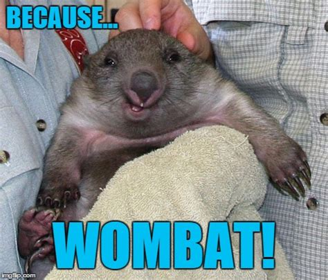 Wombat Memes - it s a smiling wombat how cute is that imgflip