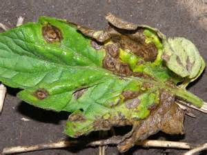 A Plant Disease - early blight of tomato commercial fruit and vegetable