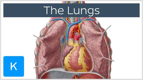 sections of the lungs lungs definition anatomy and location human anatomy