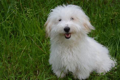 cani piccola taglia da appartamento cani piccola taglia quale razza scegliere