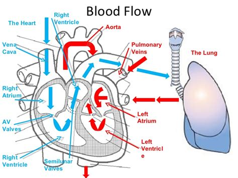 blood flow through the diagram step by step diagram